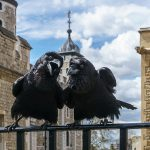 Jubilee_and_Munin-252C_Ravens-252C_Tower_of_London_2016-04-30.jpg